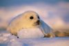 seal pup rests on ice