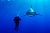 Oceanic Whitetip shark and biologist.
