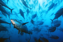 Bluefin Tuna in the Mediterranean Sea off Spain