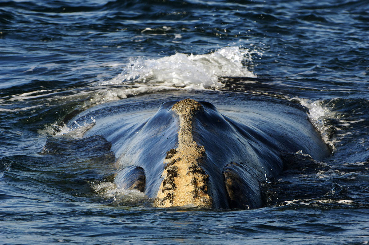 Right Whales - Brian Skerry