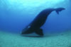 Southern Right Whale floats inches off the sea floor in the Auckland Islands
