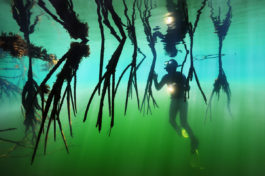 Diver explores a deep-water mangrove in Belize