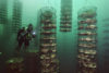Nature's own water filters, giant Japanese scallops thrive on fish waste at an experimental farm off Canada's Vancouver Island. Using an Integrated Multi-Trophic method of aquaculture the farm also uses sea cucumbers and kelp to consume excretions from nearby pens of native sablefish.